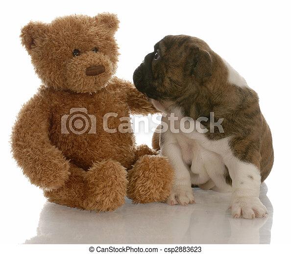 テディ, ブルドッグ, -, 熊, ある, 慰められた, 英語, 子犬, 友人, 最も良く - csp2883623