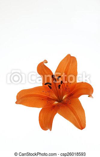 バックグラウンド。, 白い花 - csp26018593