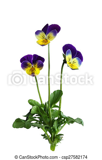 パンジー, 植物, 花 - csp27582174