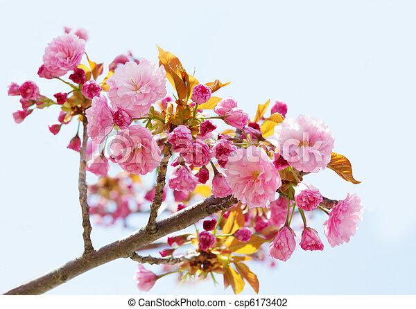 ピンク, さくらんぼ - csp6173402