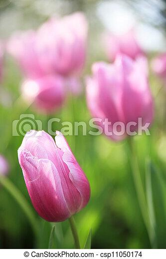 ピンク, チューリップ, 緑, バックグラウンド。 - csp11050174