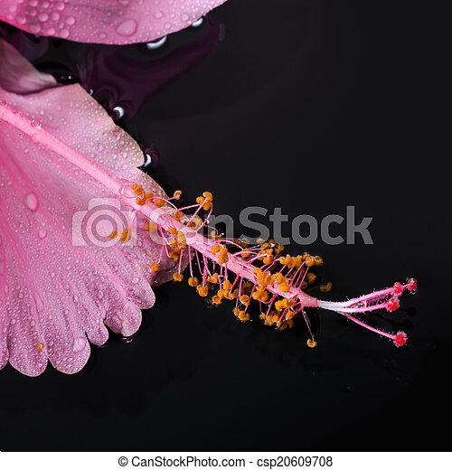 ピンク, 石, 概念, bl, ハイビスカス, 禅, 水, 花, エステ - csp20609708