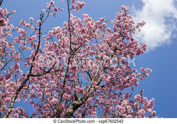 ピンク, 青, さくらんぼ, 咲く, 木, 背景, japanse, 空 - csp67602542