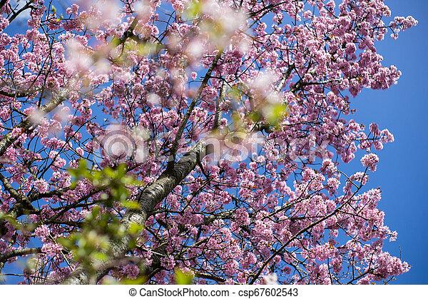 ピンク, 青, さくらんぼ, 咲く, 木, 背景, japanse, 空 - csp67602543