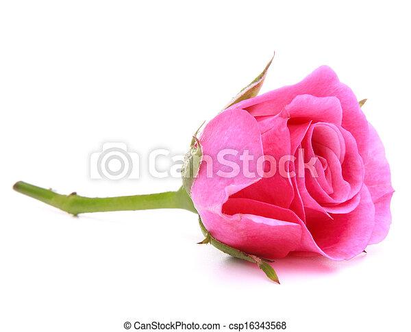 ピンク, 頭, 花, バラ, 隔離された, 背景, 白, 切抜き - csp16343568