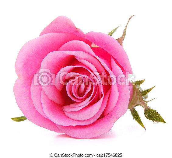 ピンク, 頭, 花, バラ, 隔離された, 背景, 白, 切抜き - csp17546825