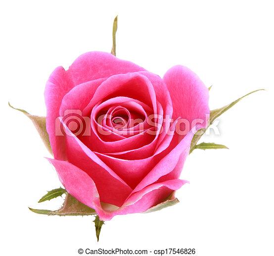 ピンク, 頭, 花, バラ, 隔離された, 背景, 白, 切抜き - csp17546826