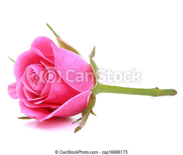 ピンク, 頭, 花, バラ, 隔離された, 背景, 白, 切抜き - csp16696173