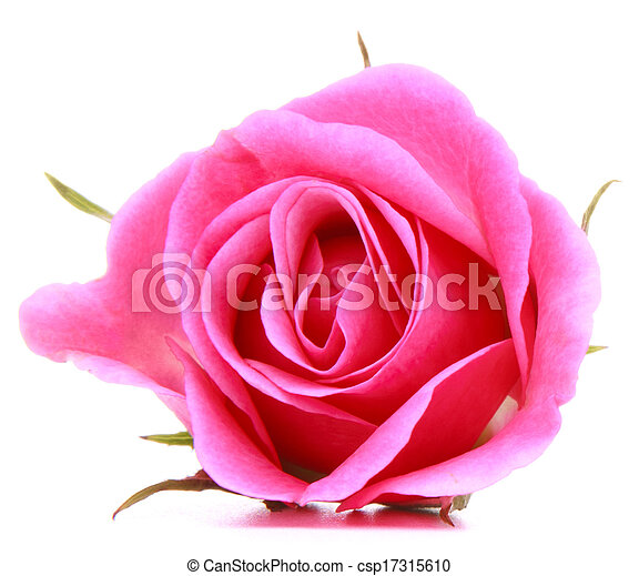 ピンク, 頭, 花, バラ, 隔離された, 背景, 白, 切抜き - csp17315610
