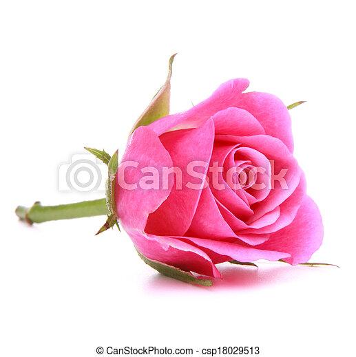 ピンク, 頭, 花, バラ, 隔離された, 背景, 白, 切抜き - csp18029513