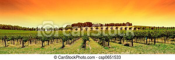 ブドウ園, パノラマ, 日没 - csp0651533
