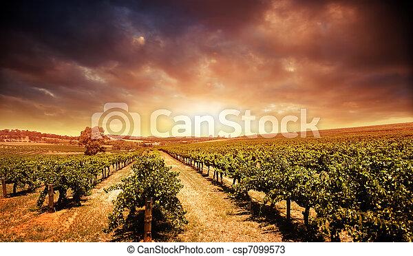 ブドウ園, 日没 - csp7099573