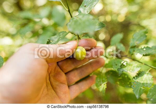 ベリー, 手, 木, 自然 - csp56138798