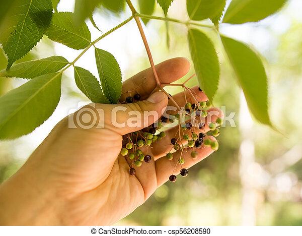 ベリー, 手, 木, 自然 - csp56208590