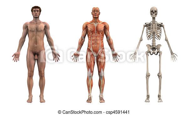 マレ, 解剖, overlays, -, 成人 - csp4591441