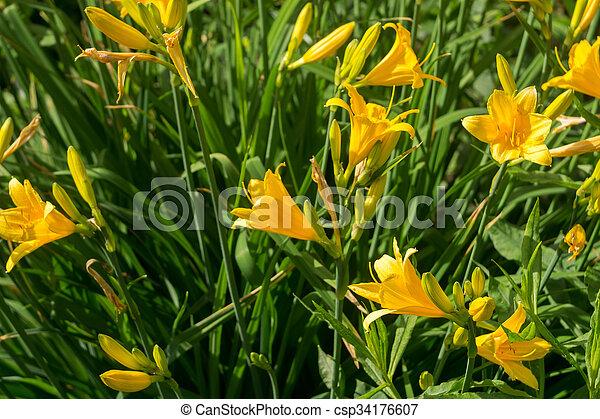 ユリ, 庭, 黄色 - csp34176607