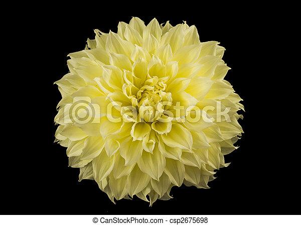 上に, 黄色, 黒, golden-daisy, つぼみ - csp2675698