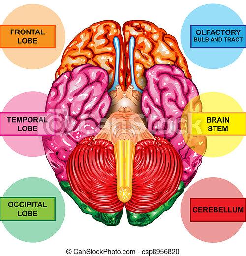 下側, 人間の頭脳, 光景 - csp8956820