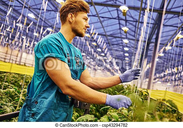 仕事, 水力のプラットホーム, リフト, 温室, 農夫, はさみ, 味方 - csp43294782