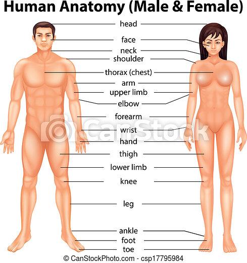 体の部位, 人間 - csp17795984