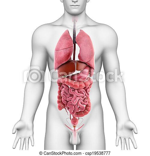 体, 解剖学, すべて, 器官, 人間 - csp19538777
