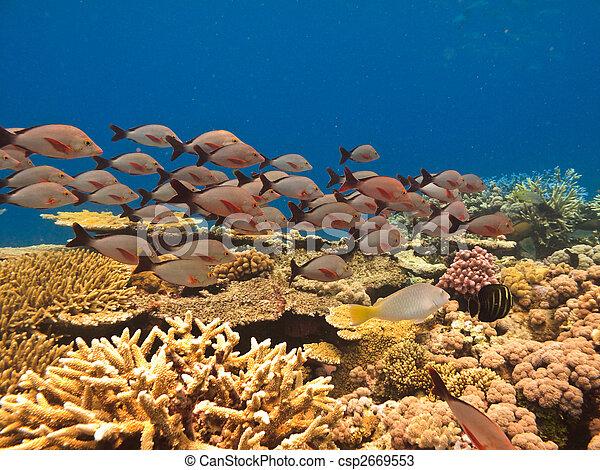 偉大, 澳大利亞, 障礙物, 魚學校, 礁石, 珊瑚 - csp2669553