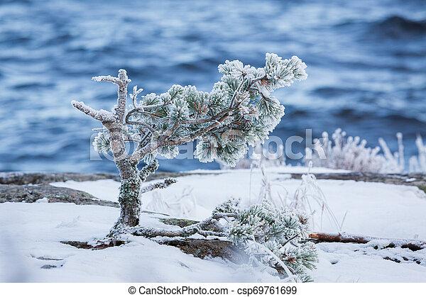 冬季, 冻结, 树, 湖, 松树, 早晨, 岸, 小, 冷 - csp69761699