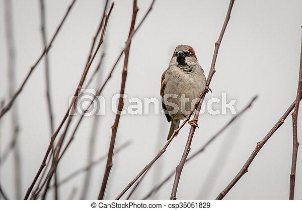 冬季, 小枝, すずめ - csp35051829