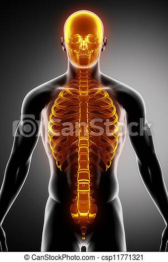 前である, 脊柱, あばら骨, 頭骨, 光景 - csp11771321
