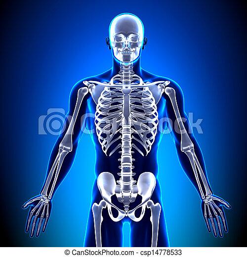 前面, 解剖學, 骨頭, -, 骨骼 - csp14778533