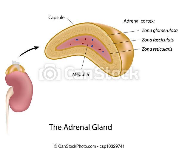 副腎, eps10, 腺 - csp10329741