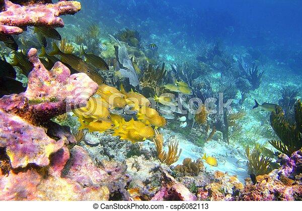 加勒比海, 里維埃拉, 珊瑚, mayan, 礁石, 咕嚕聲 魚 - csp6082113