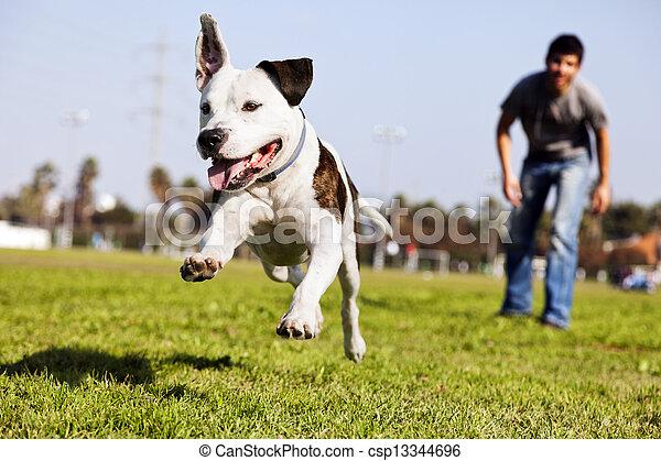 動くこと, 空中, 犬, pitbull - csp13344696