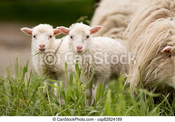 動物, 田園, ほ乳類, 双子, sheep, ランプ, 農場, 若い - csp82824189