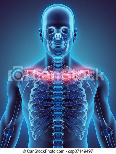 医学 Concept 鎖骨 イラスト 3d Skeleton イラスト 部分