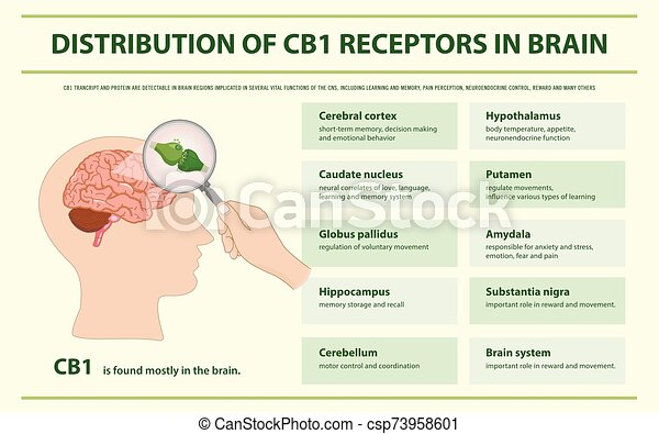 受容器, cb1, 分配, infographic, 横, 脳 - csp73958601