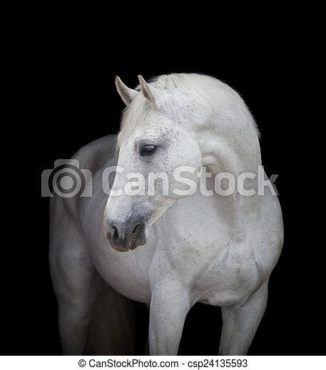 向上, 頭, 黑色, 關閉, 白色的馬 - csp24135593