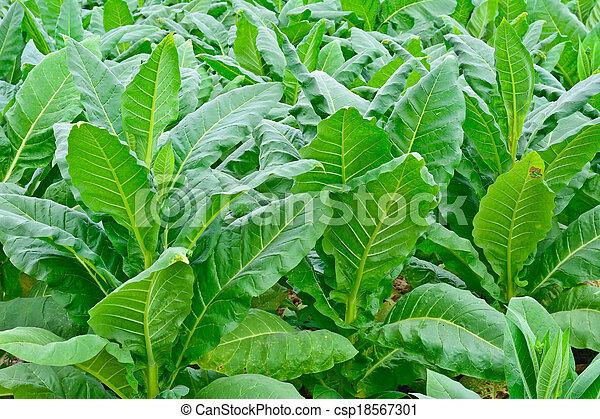夏, タイ, 緑, タバコ, フィールド - csp18567301