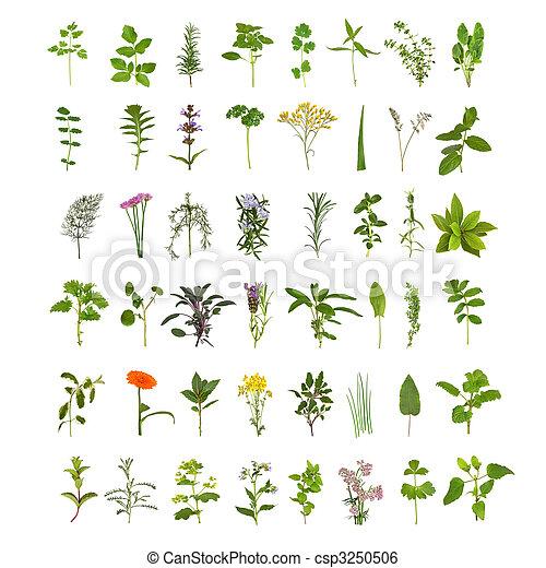 大きい, ハーブ, 花, 葉, コレクション - csp3250506