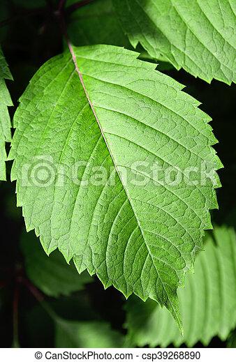 大きい, 葉, クローズアップ, 緑 - csp39268890