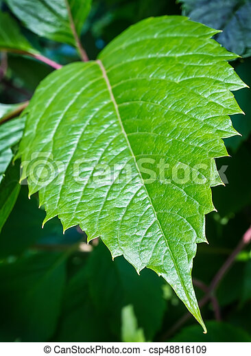 大きい, 葉, クローズアップ, 緑 - csp48816109