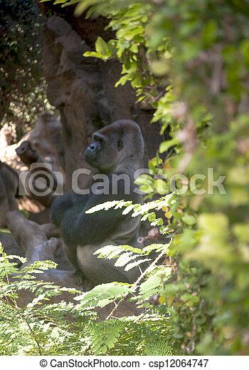 大猩猩 - csp12064747