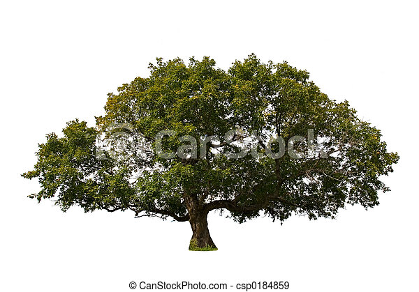 大的樹 - csp0184859