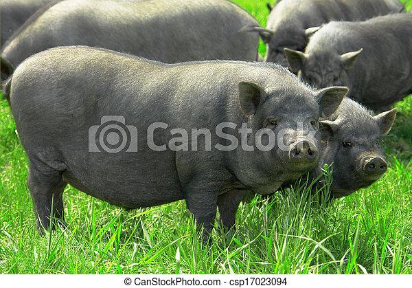 大, 豬 - csp17023094