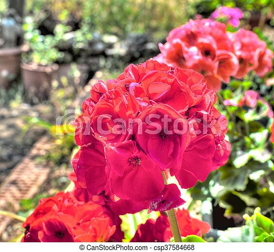 天竺葵, 联合国, closeup, 花园, hdr - csp37584668