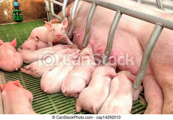 嬰孩, momma, 喂, 豬, 豬 - csp14292010