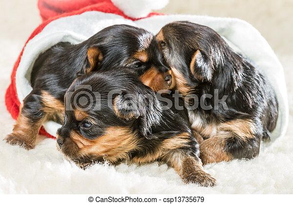 子犬, クリスマスの ギフト - csp13735679