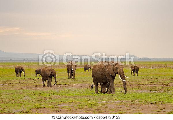 家族, サバンナ, amboseliau, 公園, 田舎, 象, kenya - csp54730133