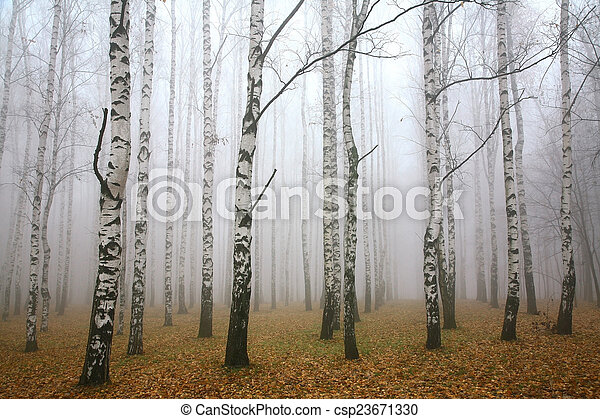 小樹林, 秋天, 早晨, 薄霧, 樺樹 - csp23671330