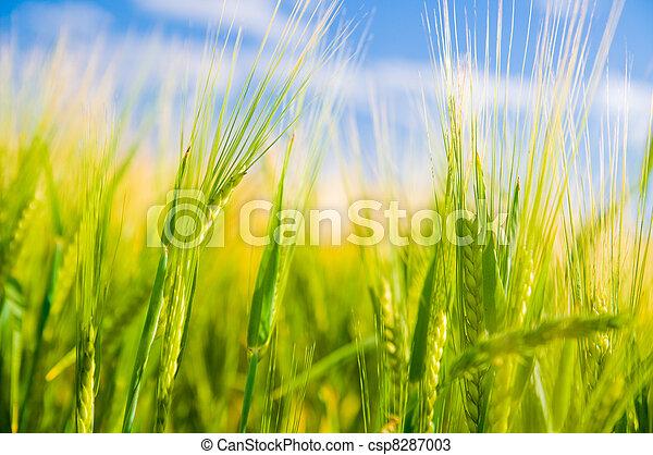 小麦, 農業, field. - csp8287003